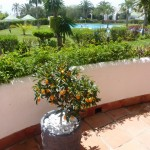Cumquat treet på terassen
